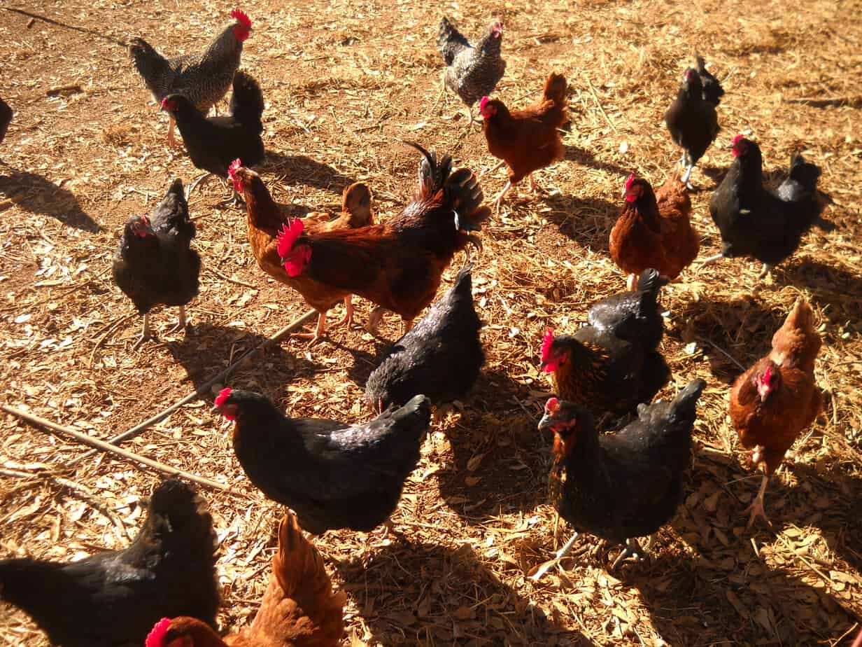 backyard chickens for egg production homestead advisor