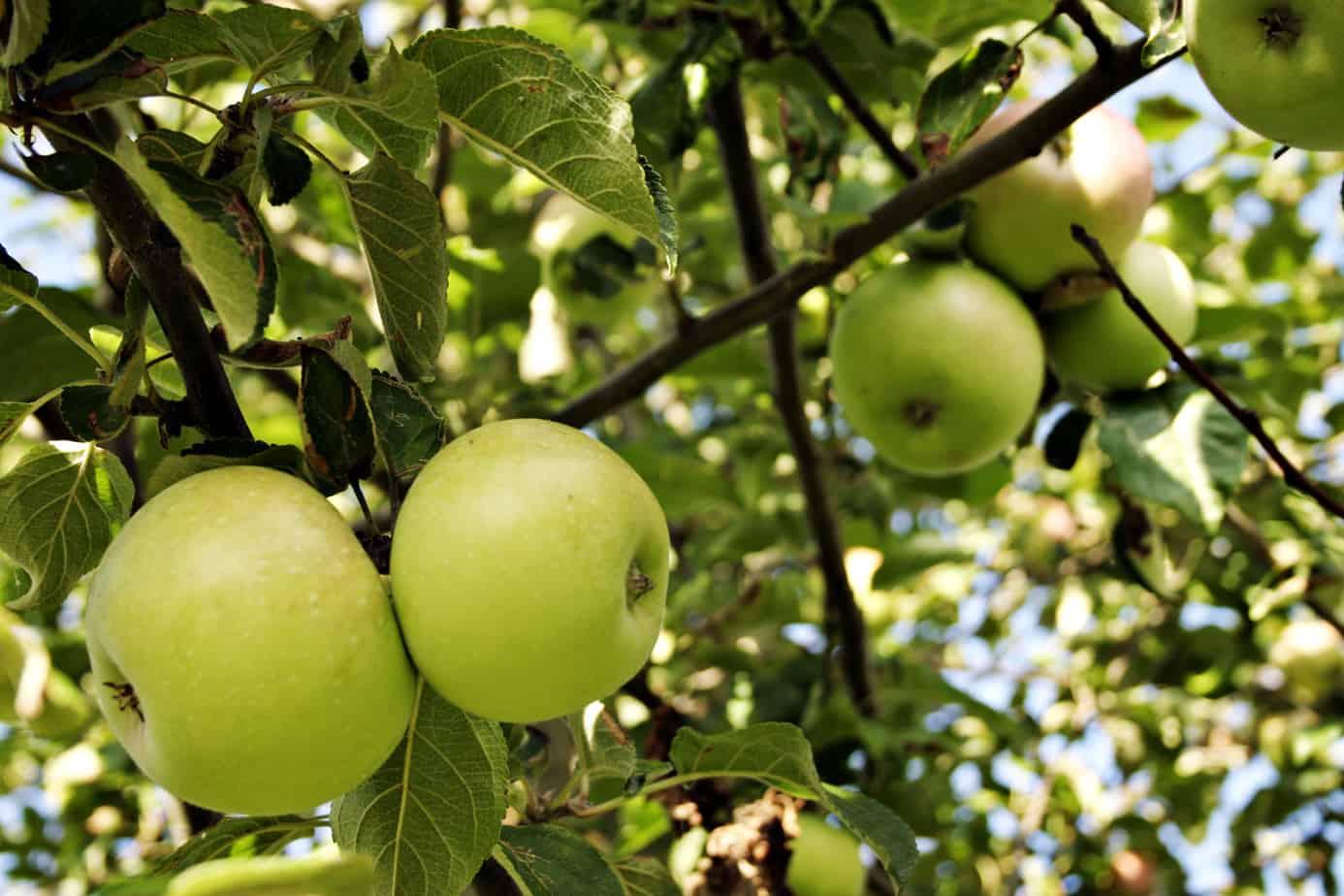 Яблоко от яблоки рассказ 17 фотография